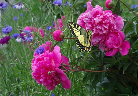 peonies blooming in the garden. bright colorful swallowtail butterfly on a pink peony flower. butterfly on a flowers