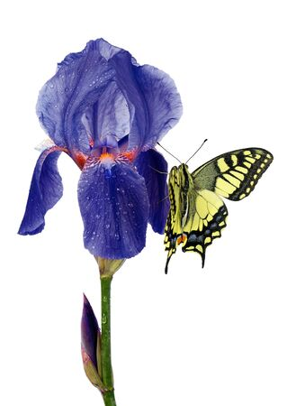 Colorful swallowtail butterfly on a blue iris in drops of water isolated on white. butterflies on flowers Stock Photo