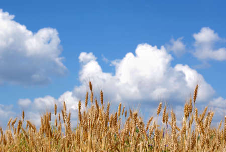ears of wheat against a blue sky with clouds. selective focus. agriculture background