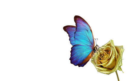 Butterfly morpho sitting on a golden rose isolated on white. golden rose and bright blue butterfly.