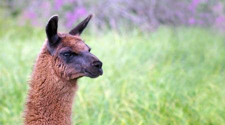 llamas graze in the meadow. graceful llamas on the field. llamas on the farm