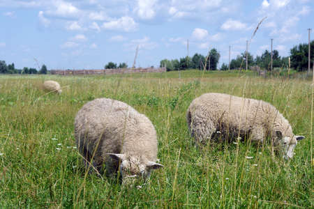 sheep graze in the meadow. sheep eating green grass in the field