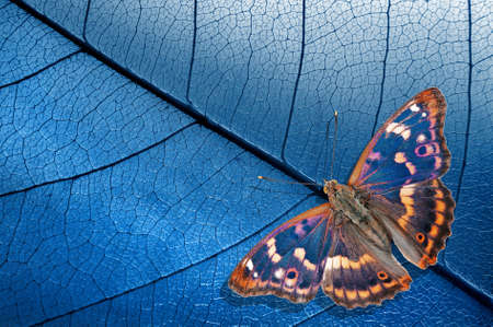 Natural blue background. bright blue tropical butterfly and skeletonized leaves. Purple emperor butterfly (Apatura iris). copy space