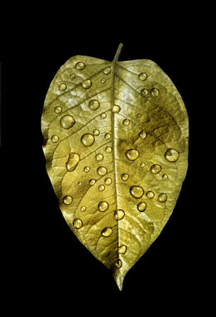 golden leaf in water drops isolated on black Stock fotó