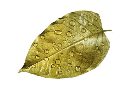 golden leaf in water drops isolated on white