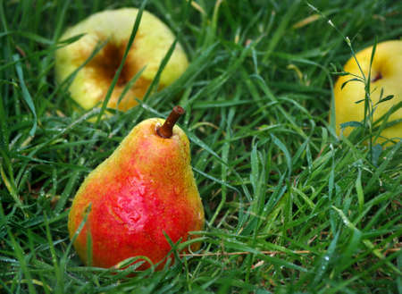 ripe pears. pears in the grass after the rain. fallen fruits in the garden.