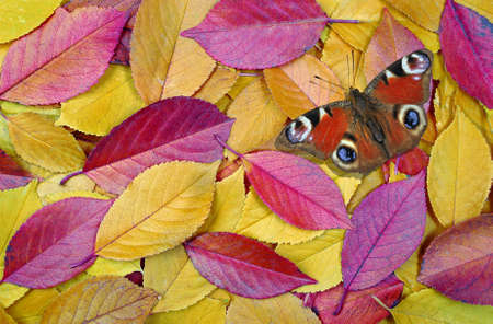 Bright colorful fallen autumn leaves and beauty butterfly. fallen sakura leaves texture background. colorful cherry leaves. top view Stock fotó
