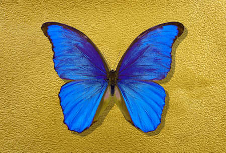 a sheet of watercolor paper painted with gold paint and bright blue morpho butterfly
