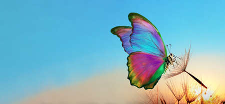 Natural pastel background. Morpho butterfly and dandelion. Seeds of a dandelion flower in drops of water on a background of sunrise. Copy spaces.
