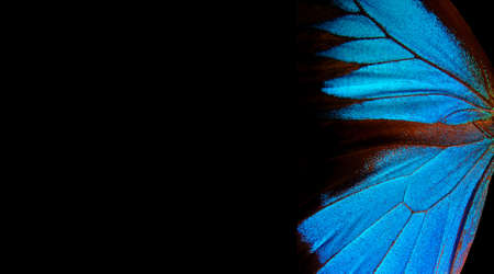 Wings of a butterfly Ulysses. Wings of a butterfly texture background. Copy space