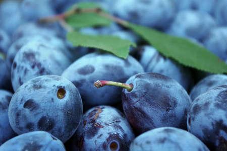 ripe plum texture background. harvest plums. close up. selective focus Stock fotó