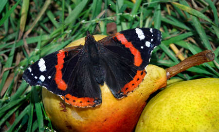 colorful butterfly admiral sitting on a ripe fallen pear. butterfly drinking juice. fruit in the garden