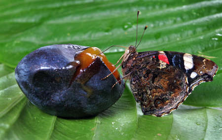 beautiful colorful butterfly admiral drinking plum juice. butterfly and fruit.