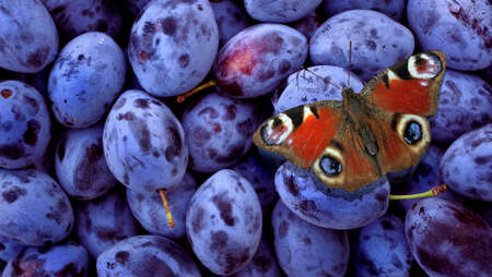 bright red butterfly sitting on blue plums. butterfly drinking fruit juice. color in nature. ripe plum texture background. harvest plums.