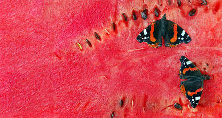 colorful butterfly admiral sitting on a red ripe watermelon. close up