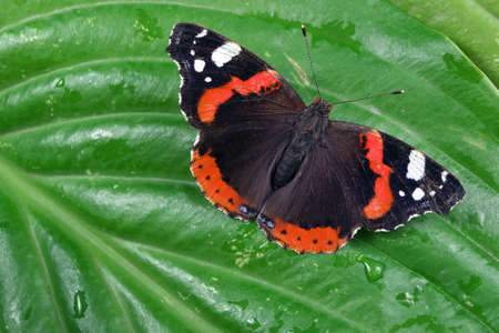 colorful butterfly admiral. butterfly on green tropical leaves. copy space