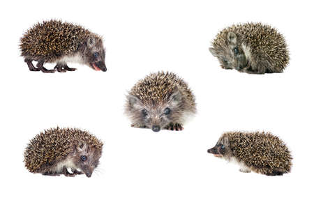 set of hedgehogs isolated on white. young hedgehog in various poses