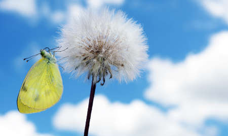 colorful yellow butterfly on white fluffy dandelion on a background of blue sky with clouds