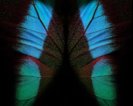 Bright colorful wings of a tropical butterfly on black. Papilio blumei. Close up. Butterfly wings texture background