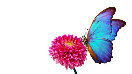 bright blue morpho butterfly on red dahlia flower isolated on white