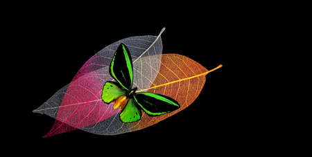 colorful tropical birdwing butterfly on tropical leaves isolated on black. skeletonized leaves. copy space
