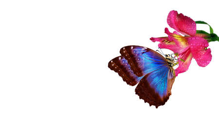 tropical nature. bright blue tropical morpho butterfly on colorful orchid flower isolated on white.