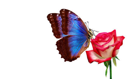 colorful blue morpho butterflies on red roses isolated on white. beautiful butterflies on flowers