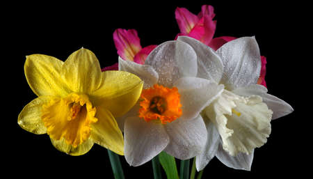 bouquet of beautiful daffodils close-up. spring flowers