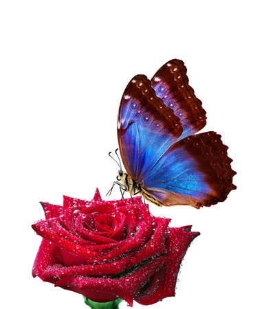 bright blue tropical morpho butterfly on red rose in water drops isolated on white.