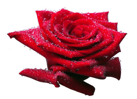 red rose bud in water drops isolated on white