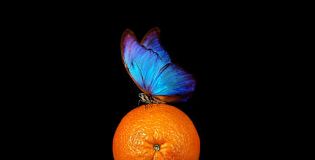 tropical nature. bright blue tropical morpho butterfly on colorful orange Фото со стока