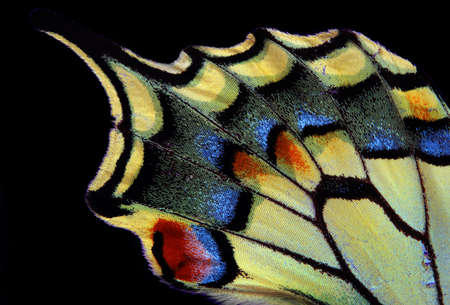 Natural abstract pattern. Wings of Swallowtail butterfly. Closeup. Wings of a butterfly texture background.