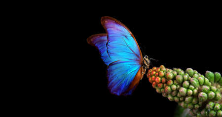 bright blue tropical morpho butterfly on flower. chestnut flower isolated on white. butterfly on a flower