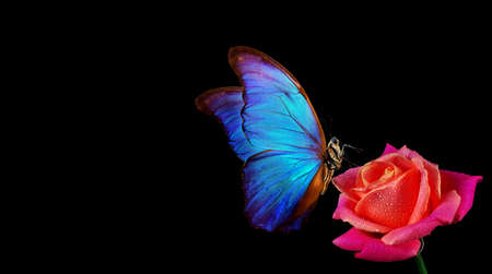 bright blue tropical morpho butterfly on red rose in water drops isolated on black. Фото со стока