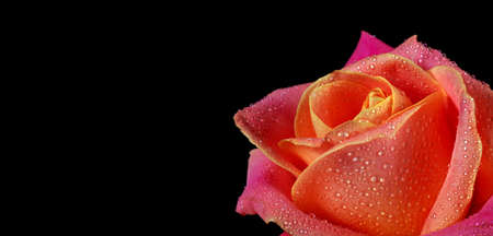 beautiful colorful rose in water drops isolated on black. copy space