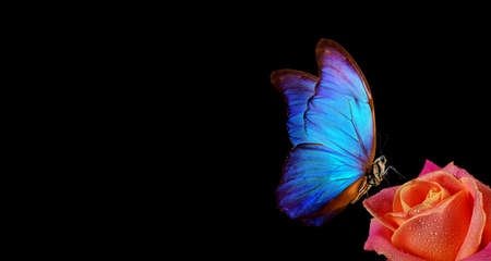 bright blue tropical morpho butterfly on red rose in water drops isolated on black. copy space Фото со стока