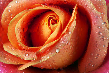 beautiful colorful rose in water drops texture background. close up Фото со стока