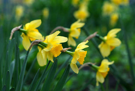 bright yellow daffodils blooming in the garden. selective focus