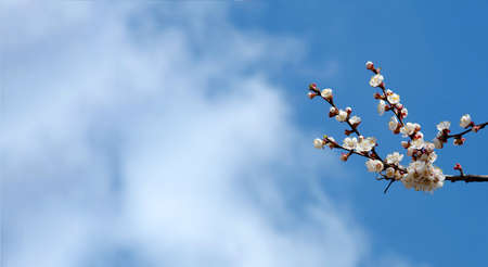 blossoming apricot. branch of blossoming apricot against the sky with clouds. copy space Stock fotó