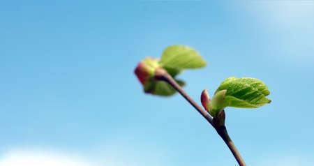 spring background. young green leaves on a branch against a blue sky. copy space Stock fotó