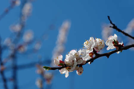 blossoming apricot. branch of blossoming apricot against the sky with clouds. copy space Фото со стока