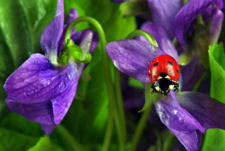 ladybug on flowers in water drops. ladybug and spring flowers Stock fotó