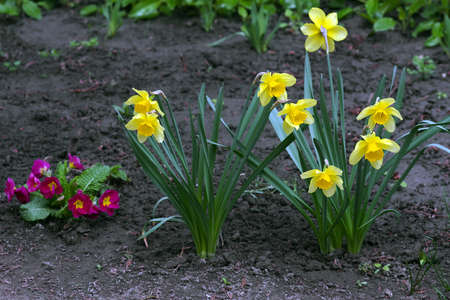 bright yellow daffodils blooming in the garden.