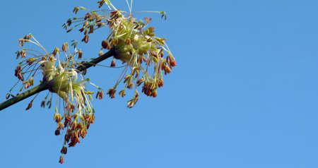 Ash-leaf maple tree blooming in spring. copy space Stock fotó