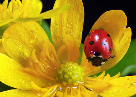 ladybug on flowers in water drops. ladybug and spring flowers Фото со стока