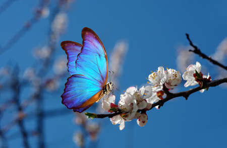 blossoming apricot. branch of blossoming apricot and bright blue morpho butterfly against blue sky. Фото со стока