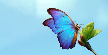 pastel spring background. bright blue tropical morpho butterfly on a young green leaf on a background of blue sky. symbol of spring and youth. copy space