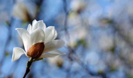 blooming white magnolia against the blue sky. trees blooming in spring Фото со стока - 168240632