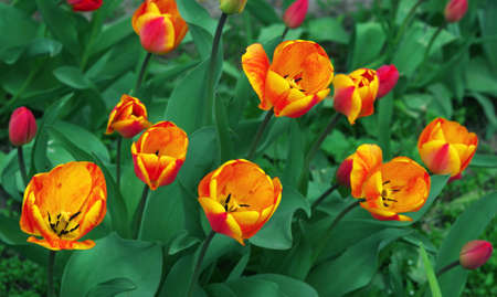 beautiful orange tulips in the garden