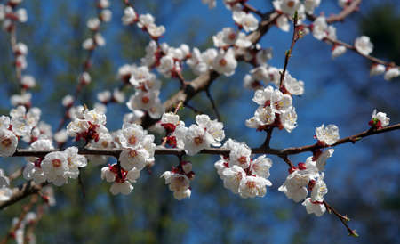 branch of blooming apricots in the garden